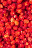Red ripe strawberry from the forest as a background - 213493643