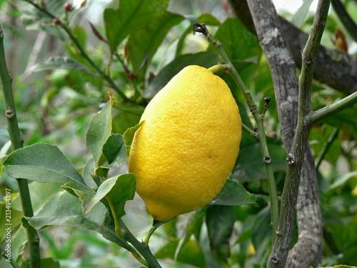 Leinwanddruck Bild Zitrone am Baum