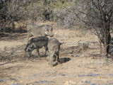 Wild Warthog Africa - 213495092