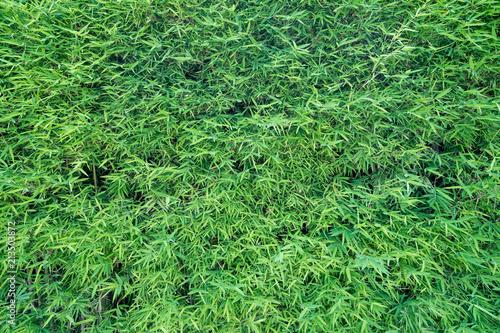 Fototapeta bamboo leaf background