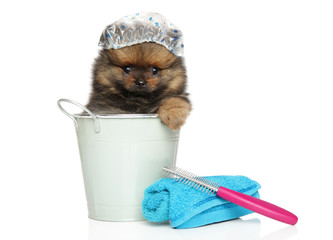 Spitz puppy sitting in a bath bucket and cap