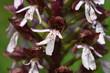 Leinwanddruck Bild - Purpur-Knabenkraut; Orchis purpurea;