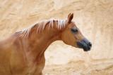 Portrait of a chestnut arabian horse on sandy desert background - 213511626