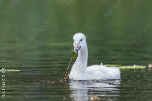 Canvas Zwaan Young Whooper Swan (Cygnus Cygnus) eating Water horsetail