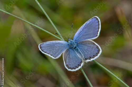 Srebrny ćwiekowany niebieski motyl (Plebejus argus) przysiadł na ostrzu trawy