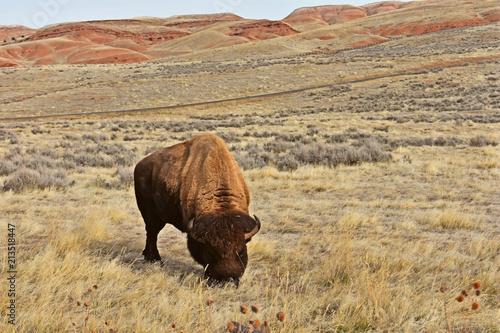 Canvas Bison Where the Buffalo Roam