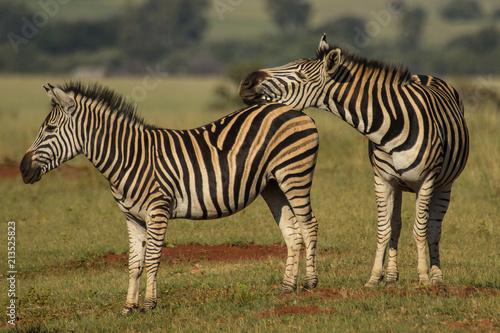 Snoozing Zebra