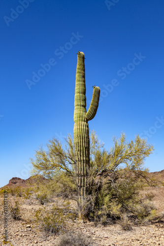 Foto Spatwand Arizona beautiful cacti in landscape