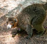 lemur lemurs ringtail sifaka madagascar - 213530276