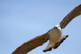 Big seagull flying.