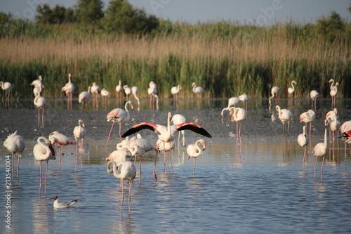 Fotobehang Zwaan camargue flamants roses parc ornithologique