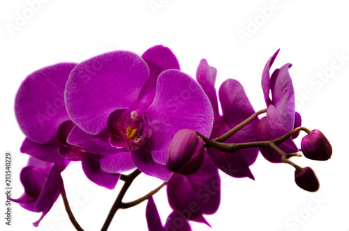 Foto Murales Orchid flower close-up on isolated background.