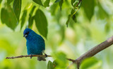 Indigo Bunting (Passerina cyanea) perched on a branch on a summer morning surrounded by lush foliage - 213542839
