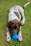 German Shorthaired Pointer puppy - 213561646