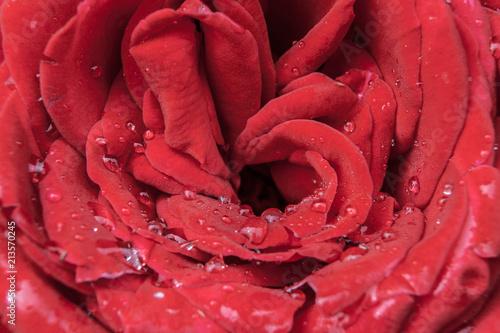 macro rose  - 213570245