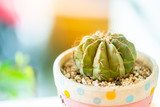 close up view of green cactus.potted green cactus house plant on wooden desk.small beautiful potted cactus. - 213574619