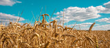 ripe cereals on the big field just before harvesting - 213577498
