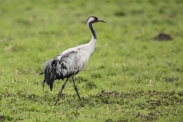 Crane, Grus grus © Gert Hilbink