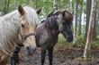 Horses in a Finland forest landscape. Animal background - 213582404