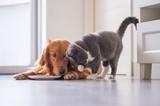Golden Retriever lying and the British short hair cat - 213584461