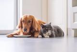 Golden Retriever lying and the British short hair cat - 213584636