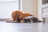 Golden Retriever lying and the British short hair cat - 213584811