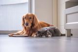 Golden Retriever lying and the British short hair cat - 213584857