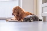 Golden Retriever lying and the British short hair cat - 213584888