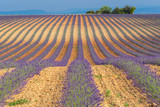 Lavender field in Valensole Plateau, Provence, France - 213589889