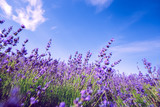 Lavender Field in the summer - 213592051