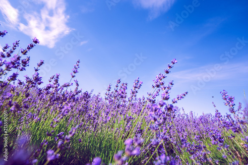 Foto Murales Lavender Field in the summer