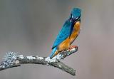 Kingfisher  - 213602885