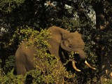elephant scratching ear with trunk
