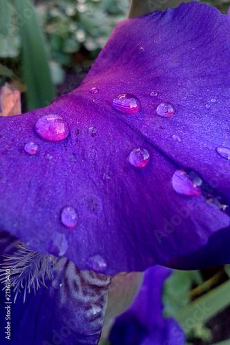 Fotobehang Iris Violet flower petals of iris with water drops close-up