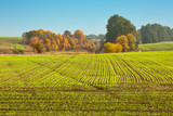 Young sprouts in autumn field, agricultural background - 213616078