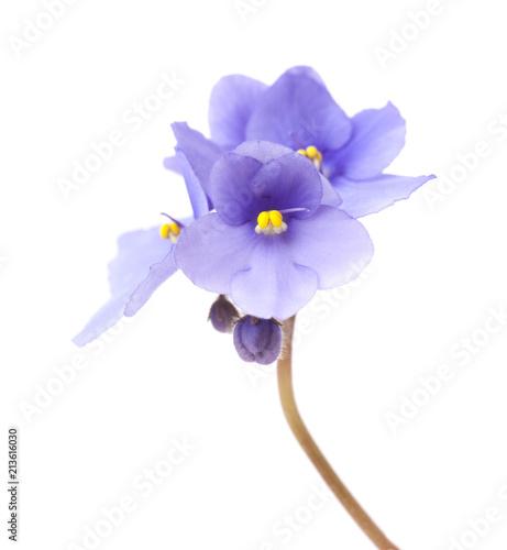 blue african violet