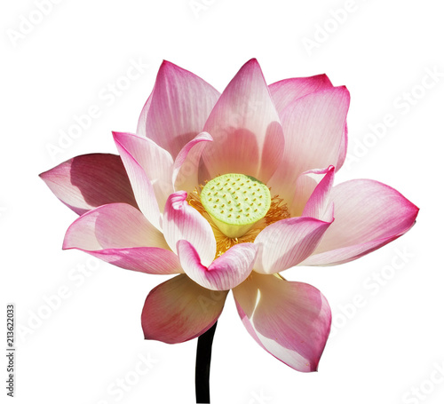 pink-white lotus isolated