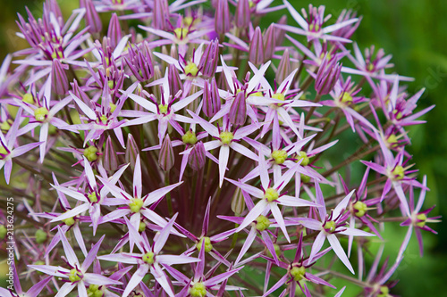 Lila Allium Blüte - Kugellauch - 213624275