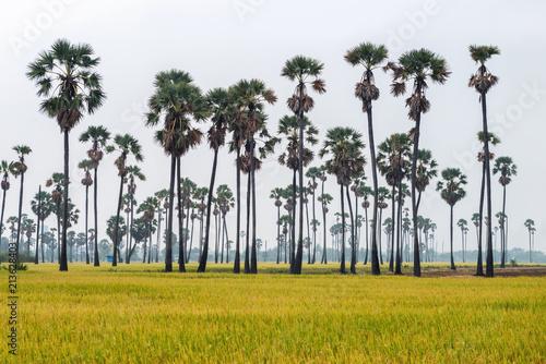 Sugar palm tree and rice field