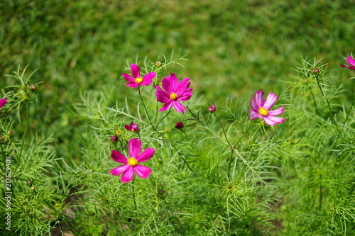 blooming violet cosmos flowers in the garden on green background. - 213629408