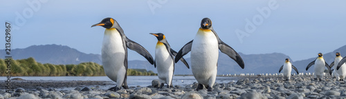 Fototapeten Pinguine King Penguins, Salisbury Plain, South Georgia Island, Antarctic