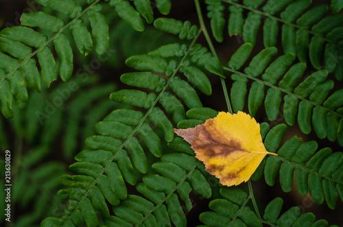 Fototapeta Single yellow birch leaf on green leaves background