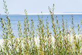 Dune with beach grass in the foreground. - 213632883