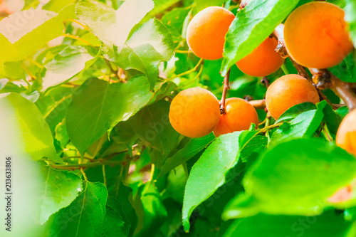 ripe yellow apricots on a branch with green foliage illuminated by sunlight - 213633806