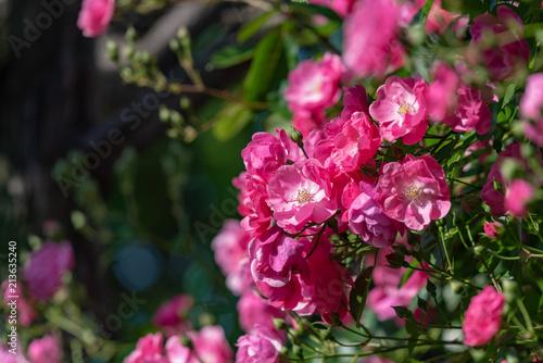 Foto Murales ピンク色の満開のバラの花