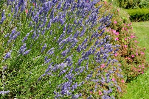 Canvas Lavendel Lavande sur un talus en Bretagne
