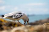 Seagull eating - 213638423