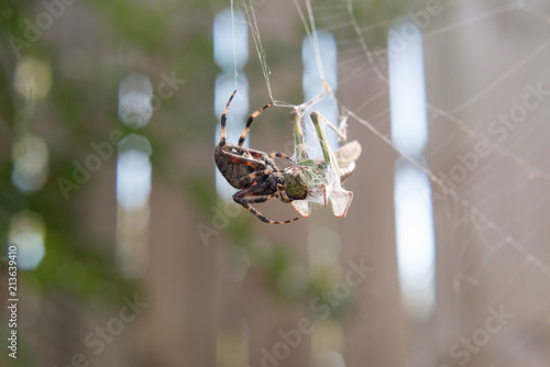 Fototapeta Spider eating cricket
