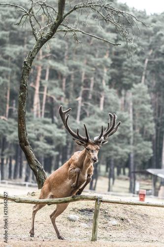 Fototapeta Hirsch springt über einen Zaun