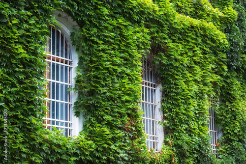 Foto Murales Ivy on the wall and window. Concept and idea for background